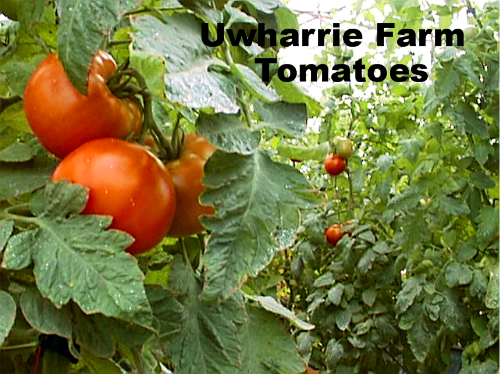 Greenhouse tomatoes photo 6-26-05