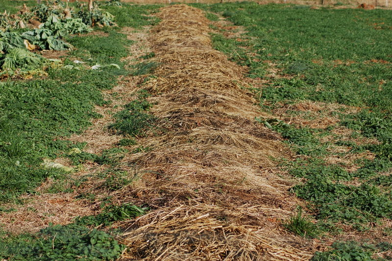 Weed control by mulching a garden bed with hay and leaves