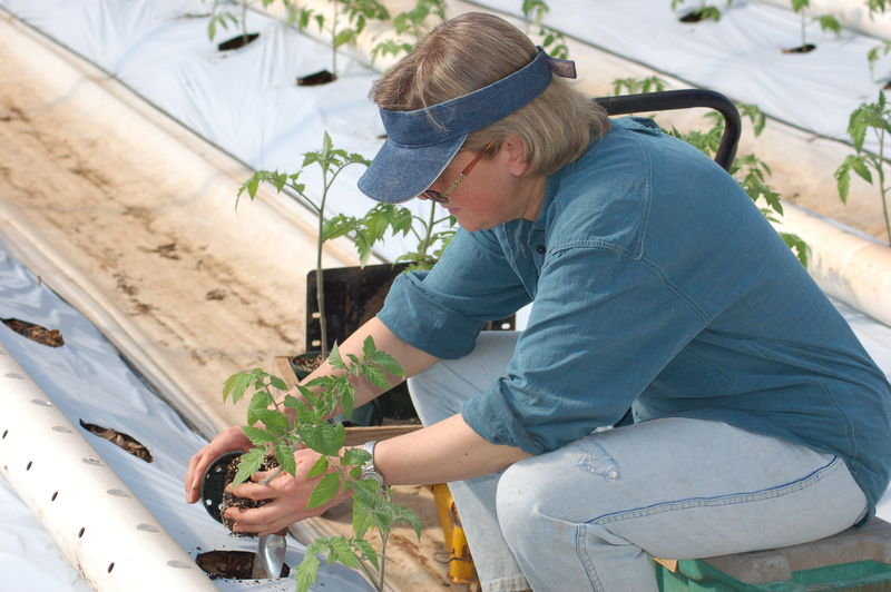 In the greenhouse, planting tomatoes