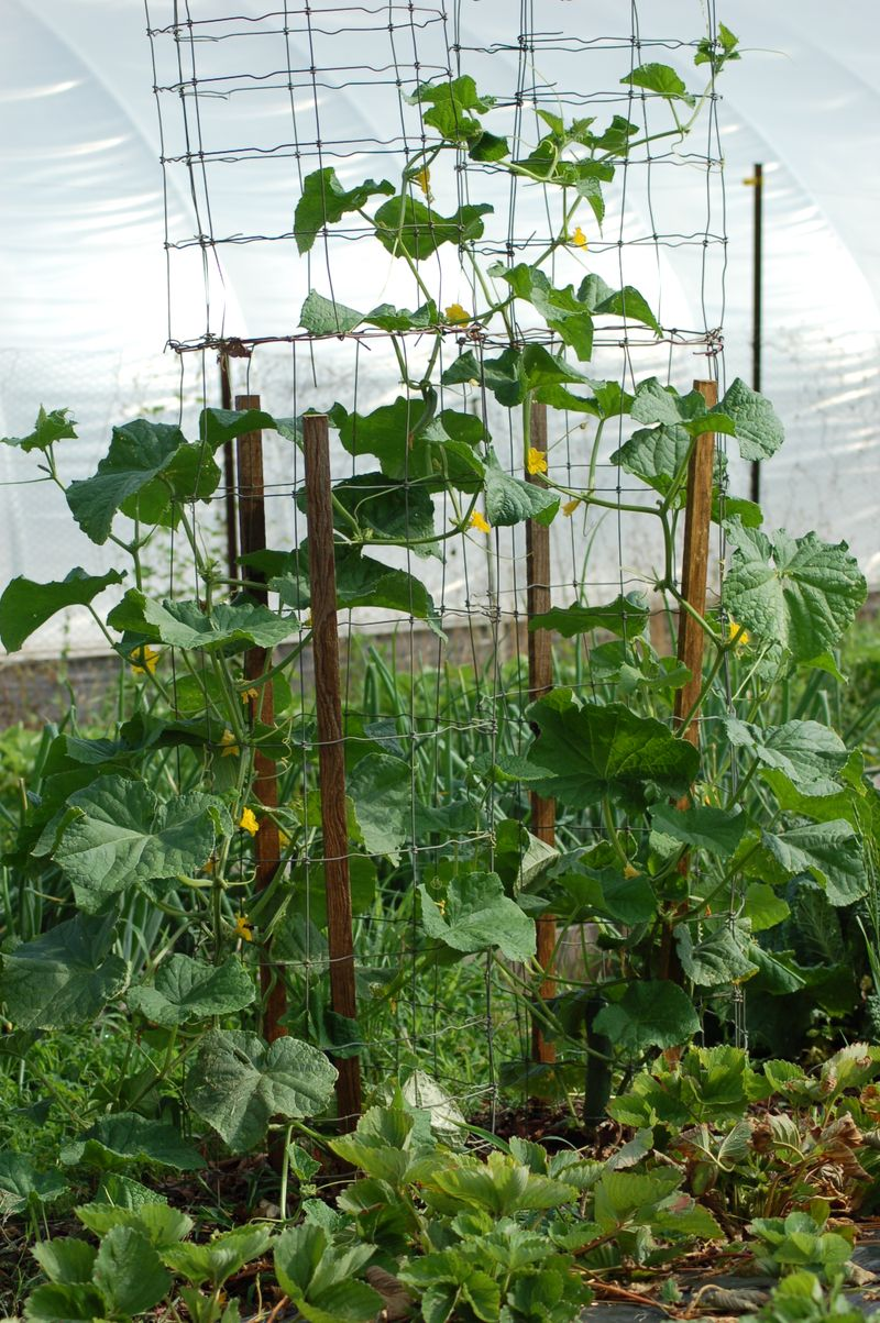 cucumber climbing wire cage