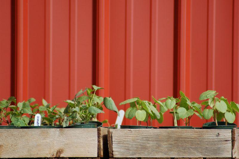 Sweet potato and okra plants
