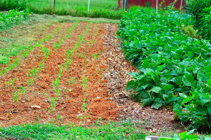 Late planting of corn and green beans