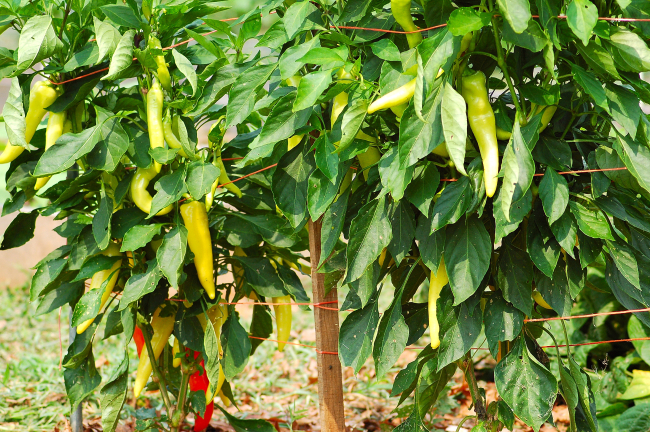 Peppers - Spice up Your Life: Plus a Country Kitchen Recipe