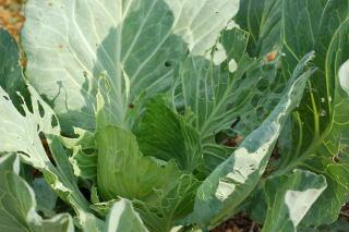 Cabbage Looper damage