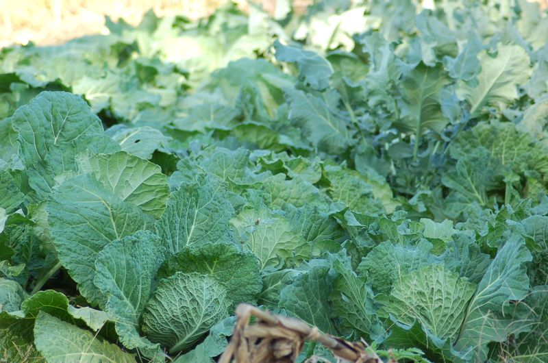 Savoy Cabbage, Collards, Broccoli