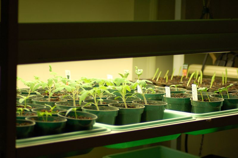 Seedlings under florescent lights
