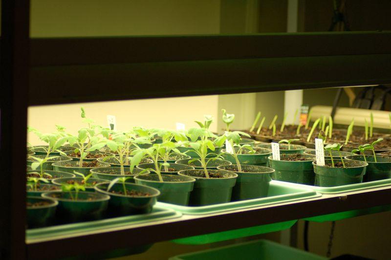 Seedlings under florescent lights