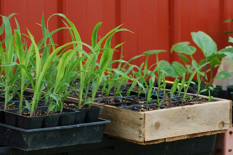 Growing Corn transplants