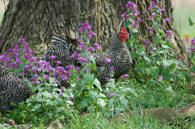 Barred Rock Hens