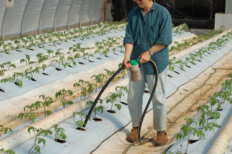 Fertilizing tomato plants