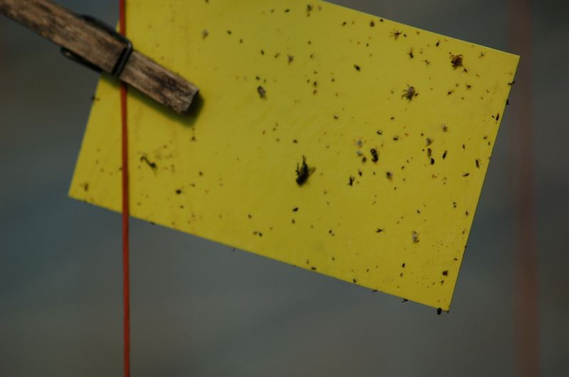 Insects trapped on yellow sticky card