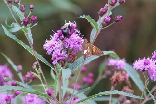 Bumblebee on wildflower