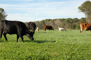 Steers and goats grazing at Uwharrie Farm