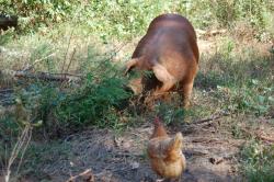 Pastured pork at Uwharrie Farm