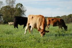 Pasture raised beef at Uwharrie Farm