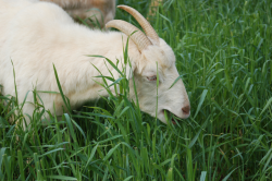 Goat grazing at Uwharrie Farm