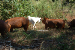 Heritage pigs at Uwharrie Farm