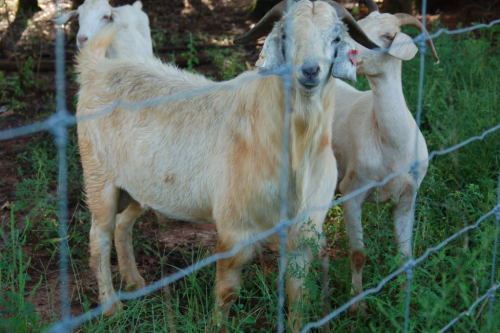 Savanna Billy Goat