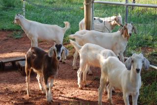 Savanna cross goats