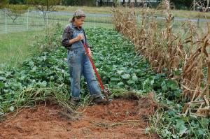 Judy digging sweet potatoes.