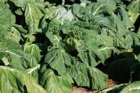 Collard Plants