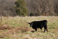 Tarantaise/Angus bull